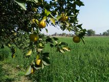 Fruitboom stock foto