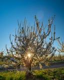 Fruitboom in een boomgaard van Idaho met een zonnestraal die door gluren stock foto