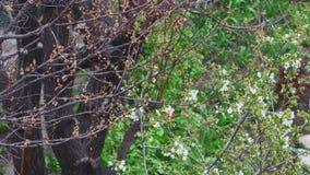 Fruitboom - halve bloei en half droog stock footage