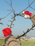 Fruitboom het snoeien stock afbeelding