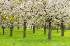 Fruitboomgaard Stock Foto's