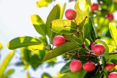 Fruite tailandés de la baya de los jangomas del Flacourtia fotografía de archivo libre de regalías