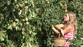 Fruiter tree branch full of pears and blurred woman harvesting ripe fruits from tree. 4K. Focus change shot from fruiter tree branch full of pears and woman stock video