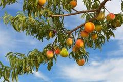 Fruiterer Royaltyfri Fotografi