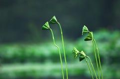Fruitery de lotus Photographie stock libre de droits