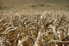Fruitful fields. Field with a crop of wheat Royalty Free Stock Photos