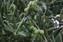 Fruitful harvest of olives Royalty Free Stock Photography