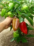 Fruitful pepper plant. With red and green fruits Stock Image