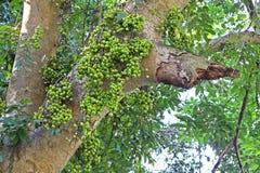 Fruiting δέντρο σύκων στη φύση, δέντρο σύκων συστάδων, ινδικό δέντρο σύκων, racemosa Ficus Στοκ φωτογραφία με δικαίωμα ελεύθερης χρήσης