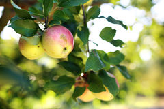 Fruiting apple tree. Royalty Free Stock Image
