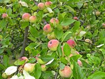 Fruiting apple trees in the garden Royalty Free Stock Photo