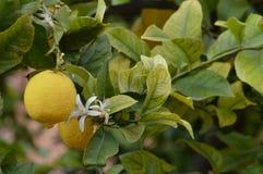 Fruiting cytryny drzewo z okwitnięcie kwiatami Fotografia Royalty Free