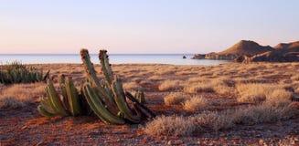 Fruiting kaktus na wyspie Fotografia Royalty Free