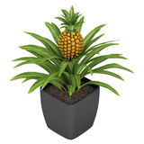 Fruiting pineapple plant Royalty Free Stock Photo