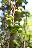 Fruiting young green wild figs in the forest. Royalty Free Stock Photo