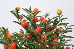 Fruitplant. Close up of a fruitplant isolated Stock Photography