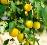 Fruitpruim op de tak met groene bladerenclose-up stock foto
