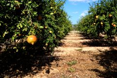 fruits валы pomegranate стоковое фото