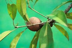 fruits заводы кивиа Стоковые Изображения RF