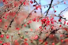 fruits красный цвет Стоковые Фотографии RF