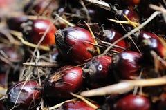 fruits ладонь масла Стоковые Фотографии RF