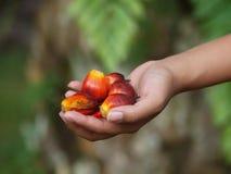 fruits ладонь масла Стоковые Изображения RF