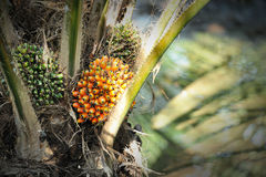 fruits ладонь масла Стоковая Фотография