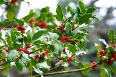 fruits падуб свой красный цвет Стоковые Фото