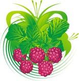 fruits поленика Стоковые Фото