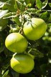 fruits померанцовый вал стоковые фотографии rf
