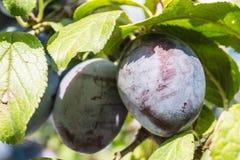 fruits сливы зрелые Стоковое Изображение