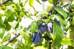 fruits сливы зрелые Стоковое Изображение RF