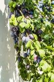 fruits сливы зрелые Стоковые Изображения