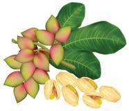 fruits хворостина фисташки иллюстрация вектора