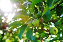 Fruits яблоко Стоковое Изображение RF