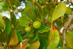 Fruits. Homestic tropical fruits at tree in the garden Royalty Free Stock Photo