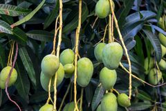 Fruits accrochants de mangue Photos stock