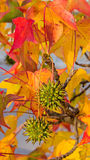 Fruits of american sweetgum Stock Photo