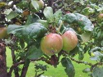 Fruits. Apple tree orchard Stock Photo