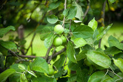 The fruits of apple trees growing on the tree Royalty Free Stock Photography