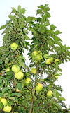 Fruits are apples on the branches of an column apple-tree Royalty Free Stock Photo