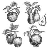 Fruits apples, garnet and pears. Apples, garnet and pears. Realistic vector illustration plants. Hand drawing. Fruit, leaf, branch isolated on white background Stock Photography