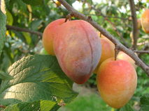 Fruits of apricot. Fruits of ripe apricot on a tree Stock Image