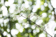 Fruits of aralia cordata. Against sunlights through tree leaves Royalty Free Stock Image