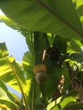 Fruits arboricoles de palmier Image stock