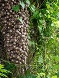 Fruits arboricoles de palmier africains au Honduras photo stock