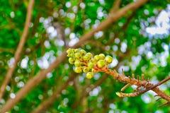 Fruits arboricoles exotiques très rares photos libres de droits