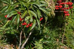Ardisia crenata fruits. Fruits of Ardisia crenata Coral bush stock photography