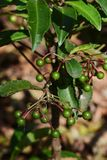Ardisia crenata. The fruits of ardisia crenata which is not ripe yet royalty free stock images