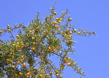 Fruits of Argan tree Stock Photo